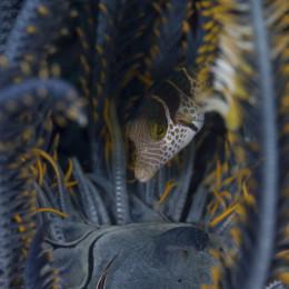 20150430_Klein-aber-oho-Makrofotografie-im-Indischen-Ozean_Feilenfisch-in-Federstern_EC2015-9428