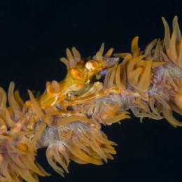 20150430_Klein-aber-oho-Makrofotografie-im-Indischen-Ozean_Xeno-Garnele-auf-Peitschenkoralle_EC2015-9505